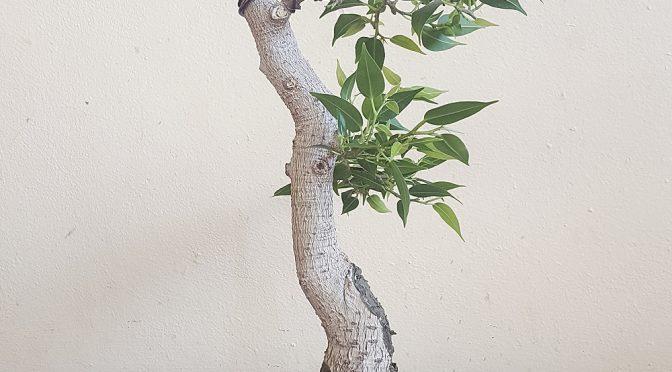 Ficus benjamina – wiosna 2017