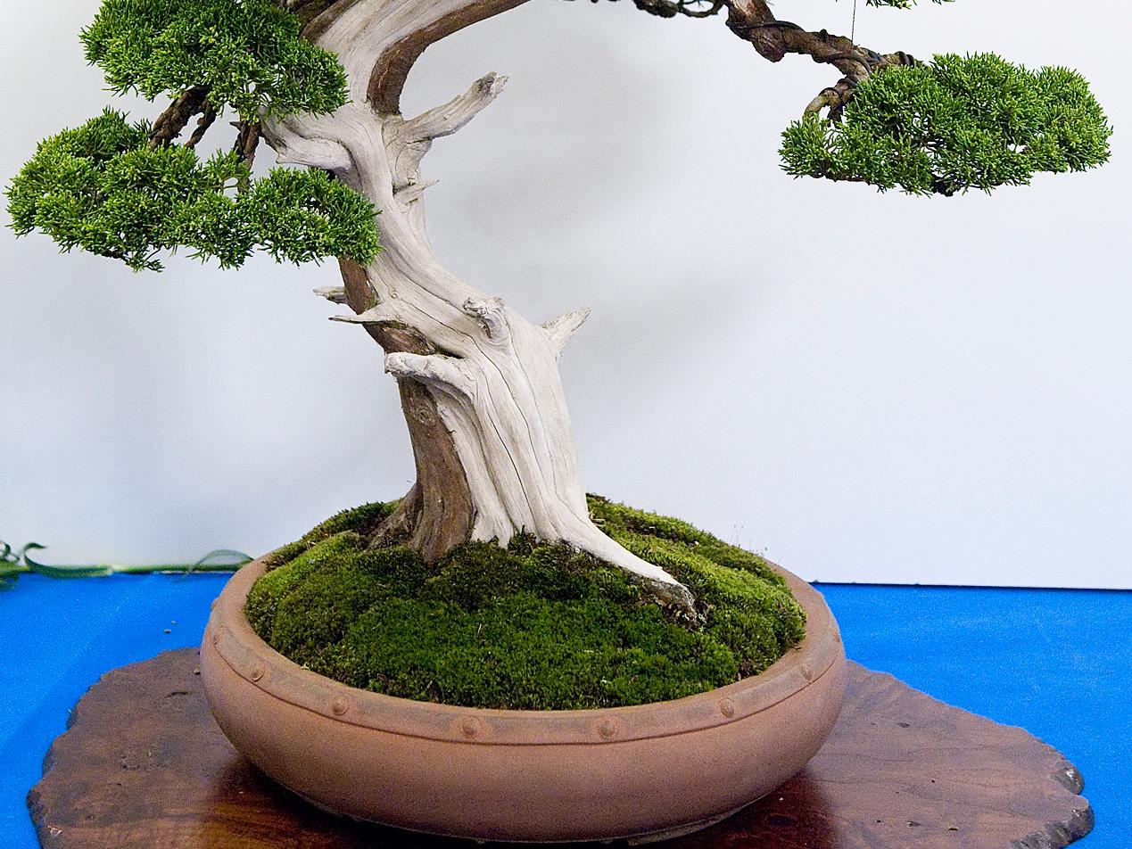 Mech W Bonsai Kocham Bonsai Blog
