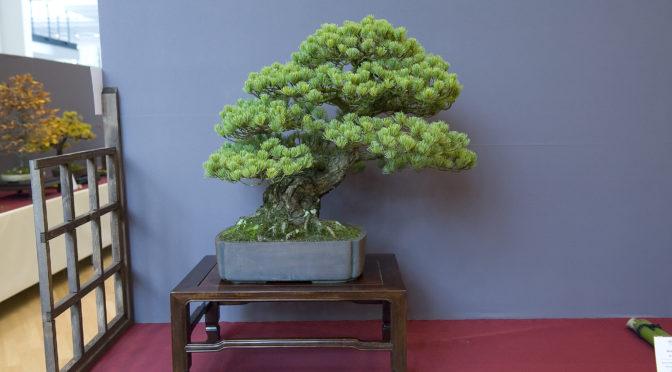 Techniki kształtowania drzew iglastych – Japońska sosna czarna
