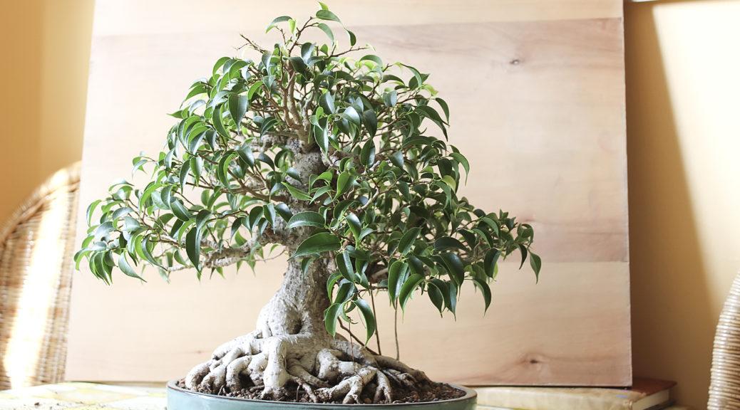 Как из фикуса сделать дерево 606