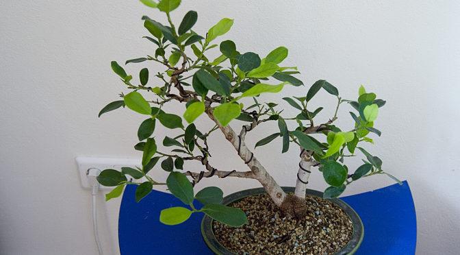 Ficus micorcarpa – po przesadzeniu – zima 2018