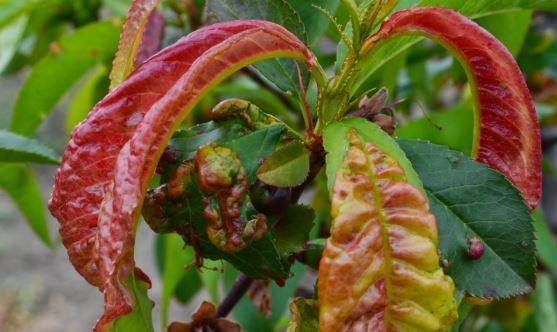 Kędzierzawość liści