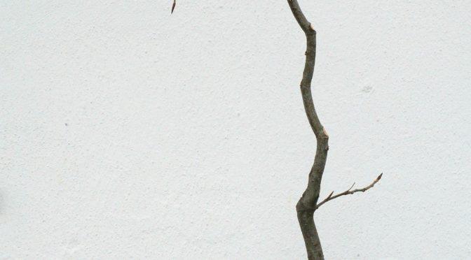Buk zwyczajny (bunjin) – wiosna 2018