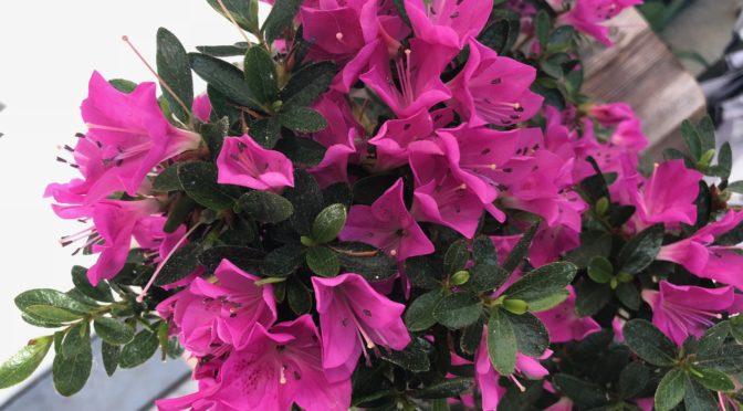 Kwitnąca azalia