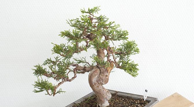 Jałowiec chiński [41]