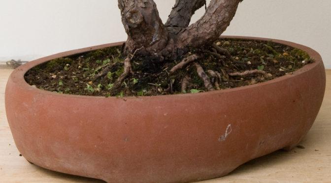 Po czym poznać, że drzewko bonsai należy  przesadzić?