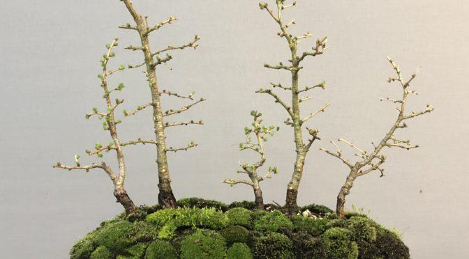 Lasek z młodych modrzewi na kamieniu